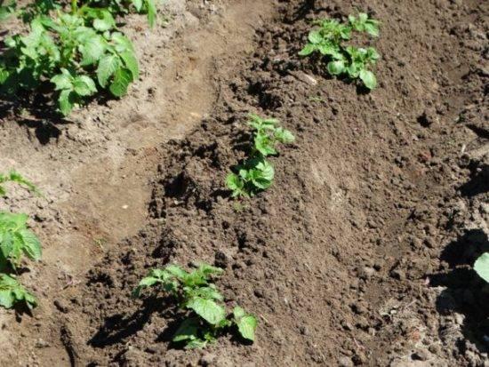 Чем подкармливать картофель во время и после посадки