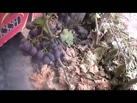 Кинельский виноград — лучшие сорта: выбор, посадка, уход