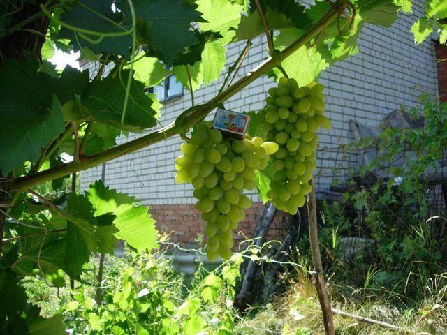 Виноград феномен: описание сорта, о посадке и уходе, о поливе, урожайность