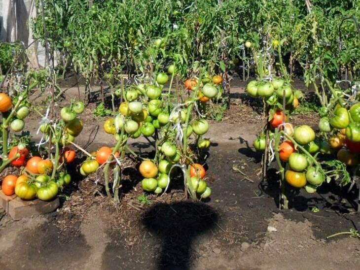 Обзор самых фитофтороустойчивых сортов томатов