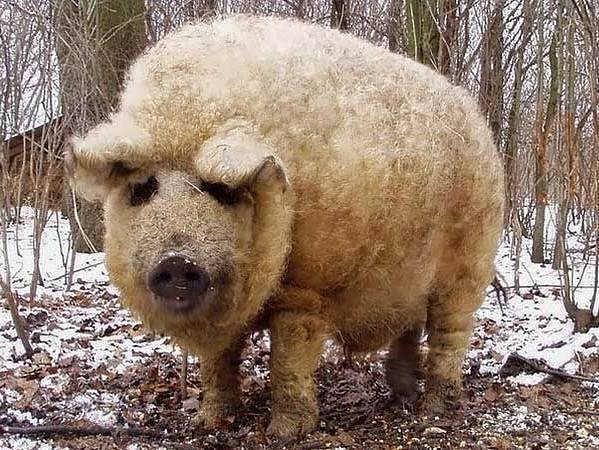 Венгерская мангалица свинья. описание, особенности, разведение и уход за венгерской мангалицей | живность.ру