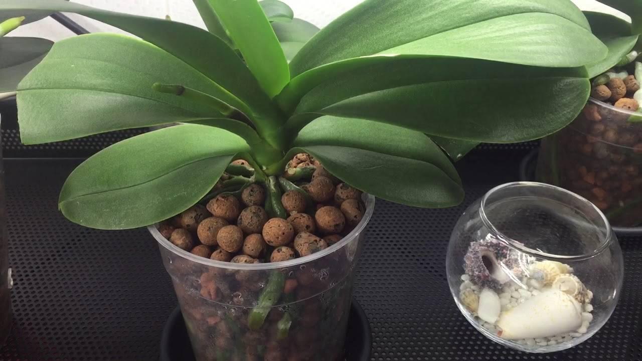 Как посадить орхидеи в керамзит