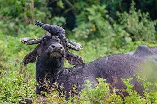Азиатский буйвол индийский буйвол