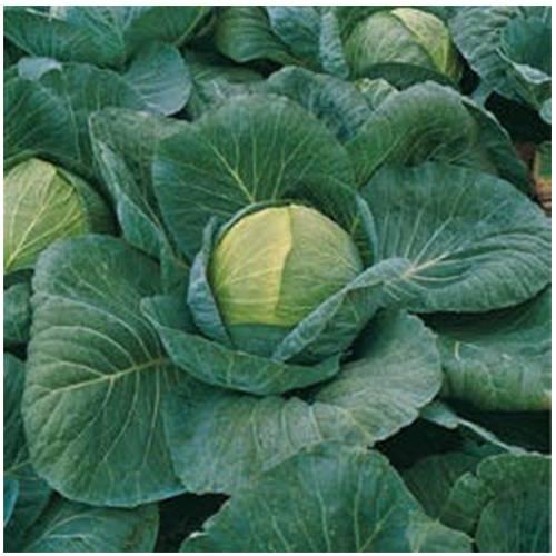 Капуста кевин f1: описание и характеристика белокочанного раннего сорта, отзывы и фото семян гавриш