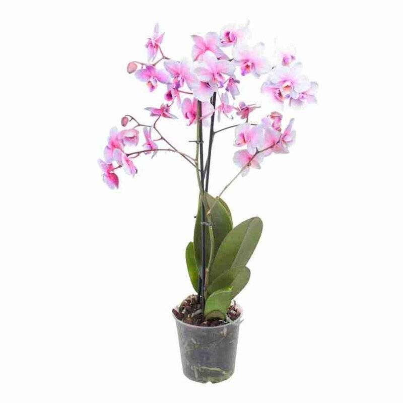 Фаленопсис солид голд и еще 9 видов золотистой  орхидеи