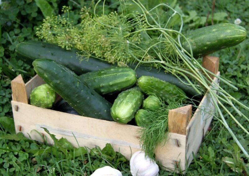 Многообещающий салатный сорт от нидерландских селекционеров — огурец кафкас f1: описание и характеристика