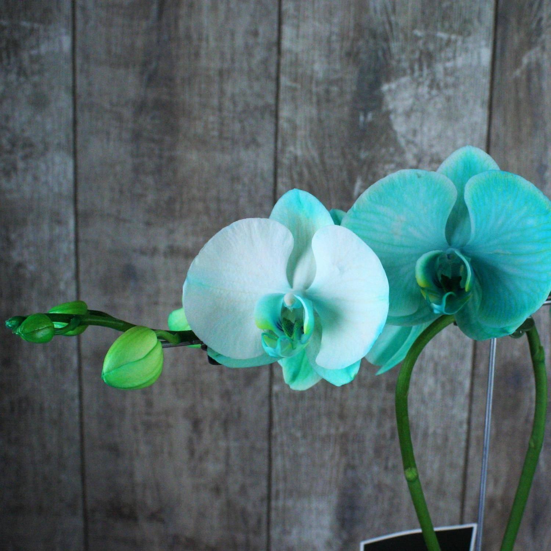 Королевская орхидея фаленопсис: фото голубой орхидеи и гигантеллы - королевы цветов и тропиков, а также уход в домашних условиях