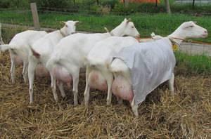 Описание зааненских коз