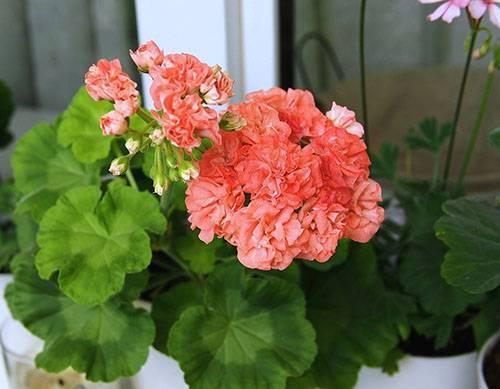 Пеларгония зональная: как выращивать в саду, сорта и фото