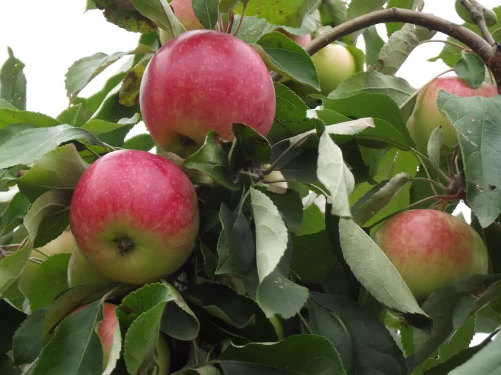 Яблоня мельба: описание, характеристика, срок созревания, отзывы