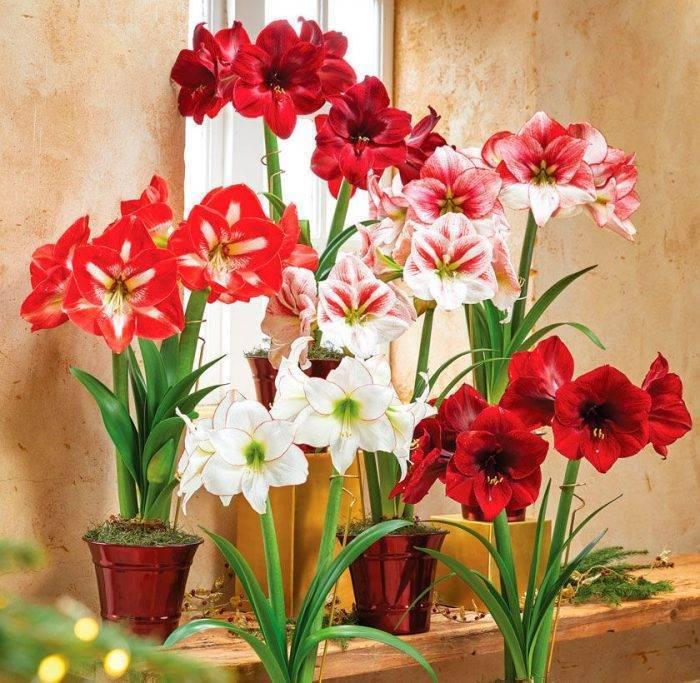 Амариллис фото, уход в домашних условиях, размножение, цветение