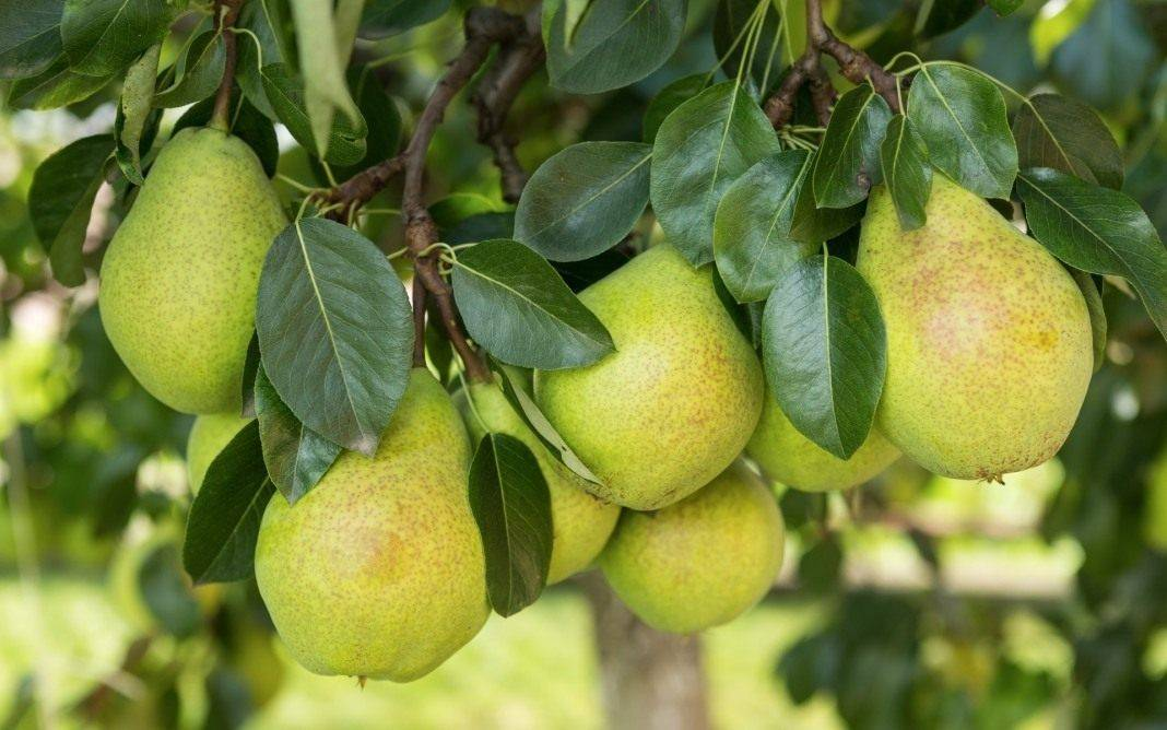 Почему груша не цветет и не плодоносит