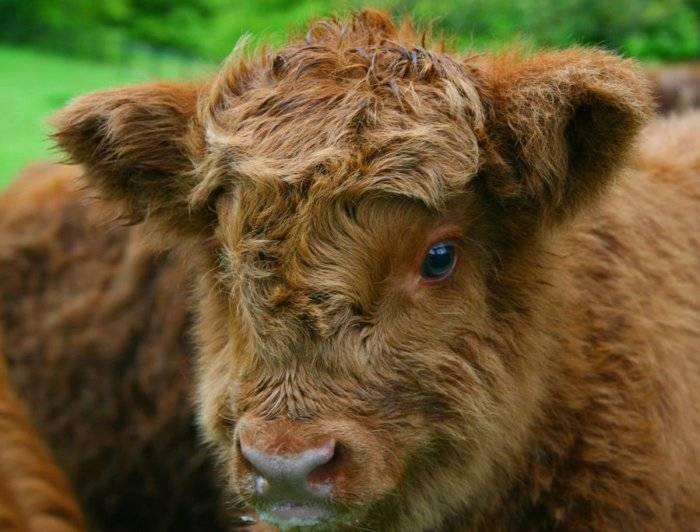 Коровы породы хайленд или шотландская высокогорная