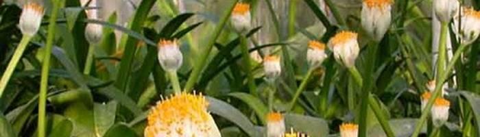 Гемантус: выращивание, посадка и уход в домашних условиях