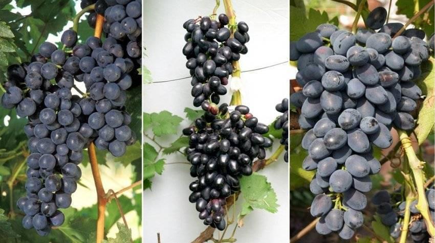 Описание сорта винограда чарли с фото и отзывами пользователей