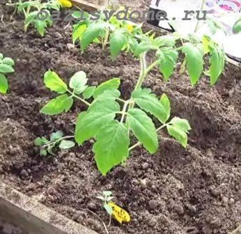 Как поливать рассаду томатов до и после высадки в грунт