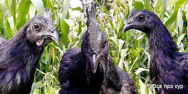 Аям цемани порода кур – описание, фото и видео