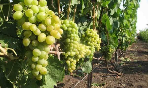 Виноград элегант: описание и характеристики, история селекции сорта и выращивание