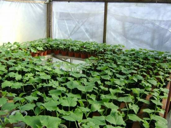 Огурцы в теплице: разбор технологии выращивания + советы от огородников
