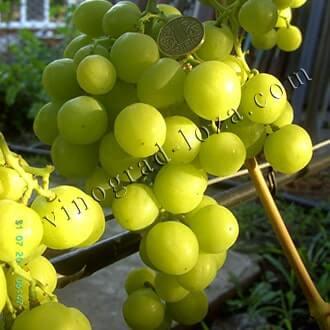 Сладкий виноград с насыщенным вкусом — сорт одесский сувенир
