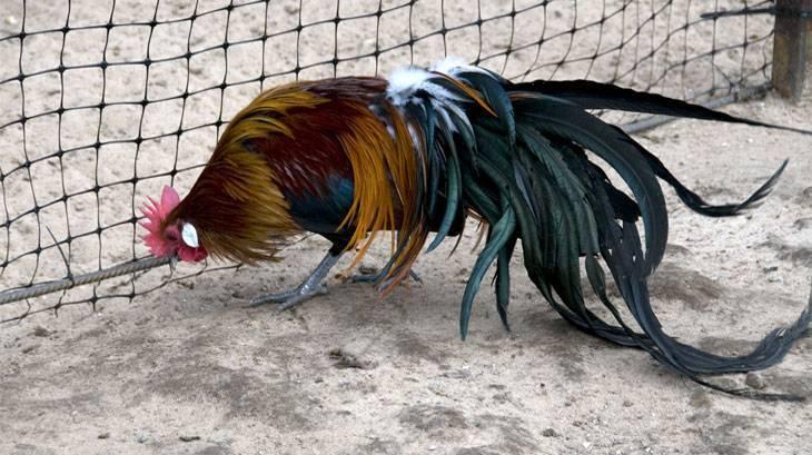 Куры феникс описание породы кур, яйценоскость и внешний вид птицы, фото, видео