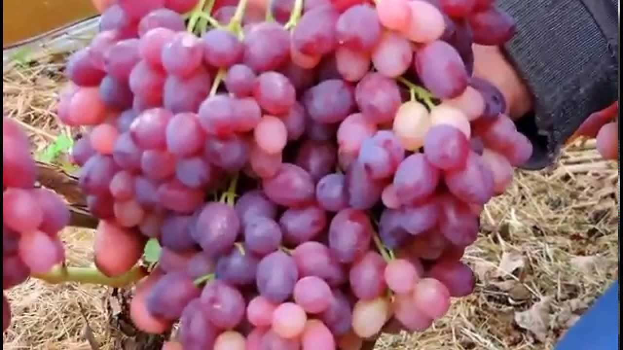 Виноград велес: описание сорта