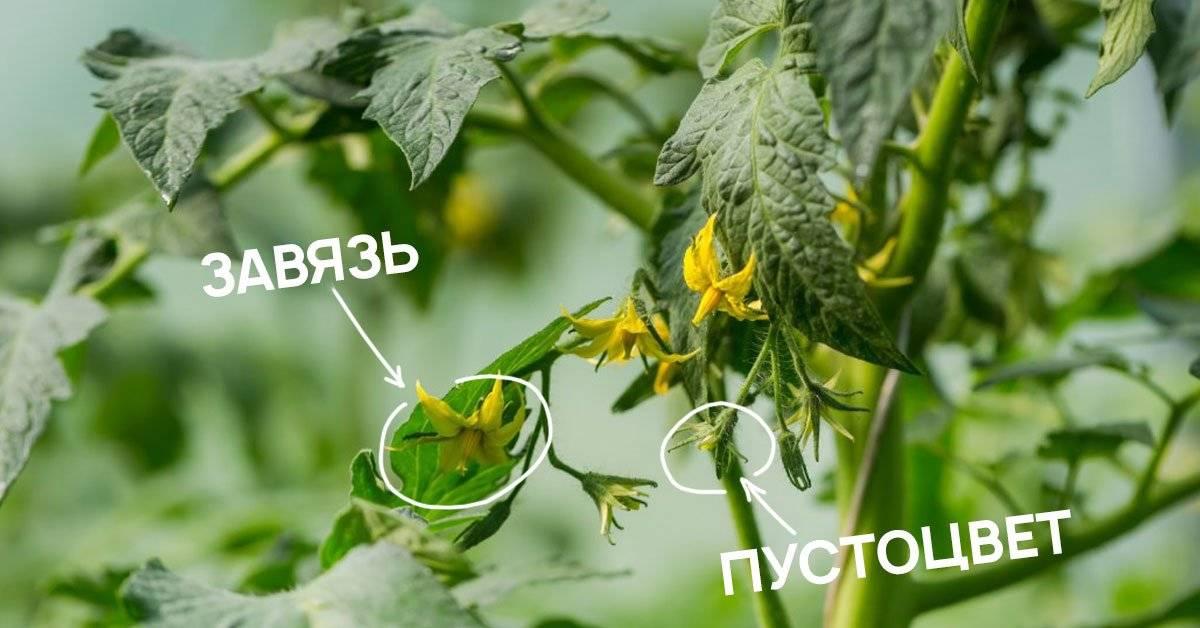 Пустоцвет на помидорах в теплице - что делать
