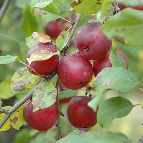 Яблоня китайка: описание, топ секреты выращивания с фото и видео