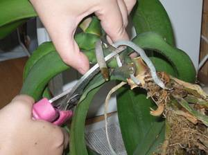 Интересный вопрос: можно ли обрезать орхидею?