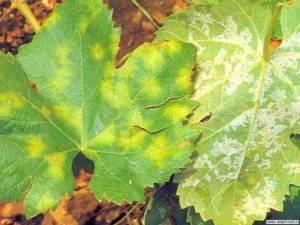Болезни винограда – фото и чем лечить, основные грибковые, бактериальные, вирусные и неинфекционные заболевания - огород, сад, балкон - медиаплатформа миртесен
