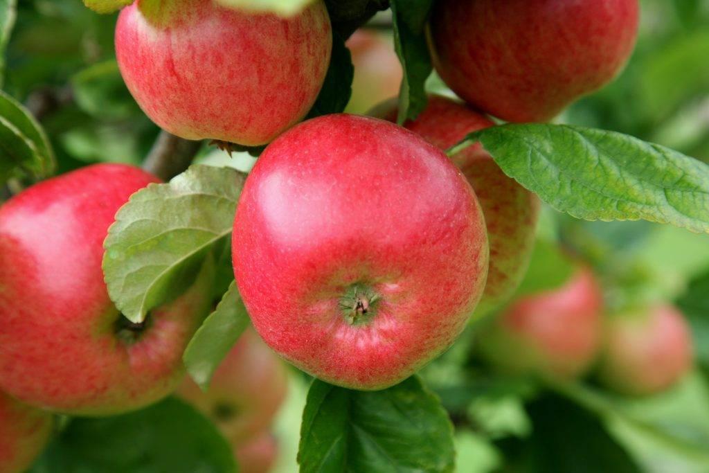Колоновидные яблони для Ленинградской области