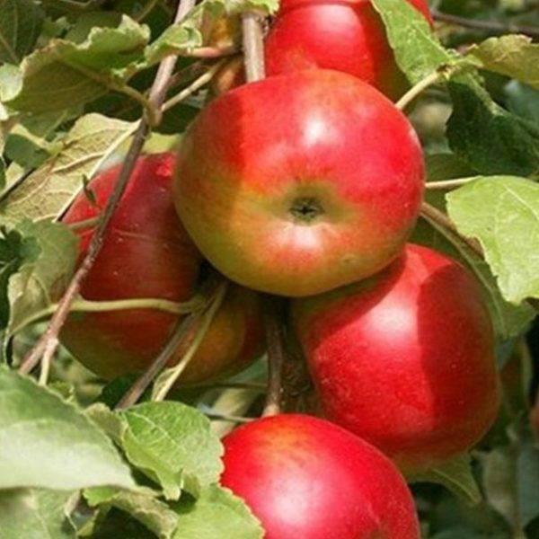 Яблоня аркадик: описание сорта, посадка и уход за деревом