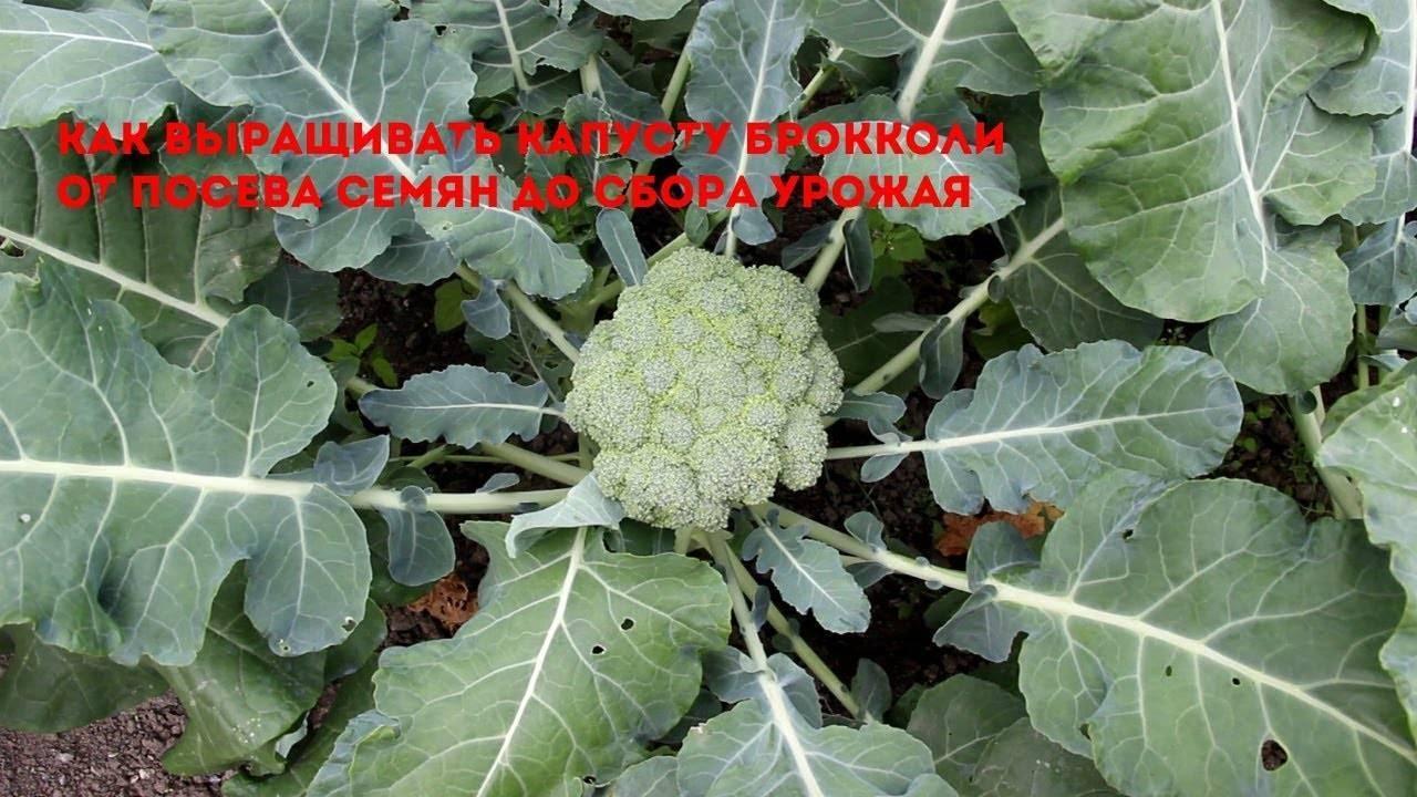Капуста брокколи: выращивание и уход в открытом грунте, фото, отзывы