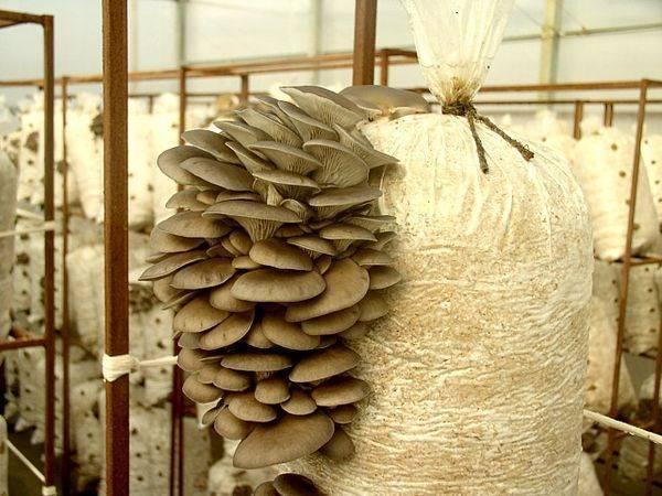 Домашние вешенки - технология выращивания и оптимальные условия для грибов