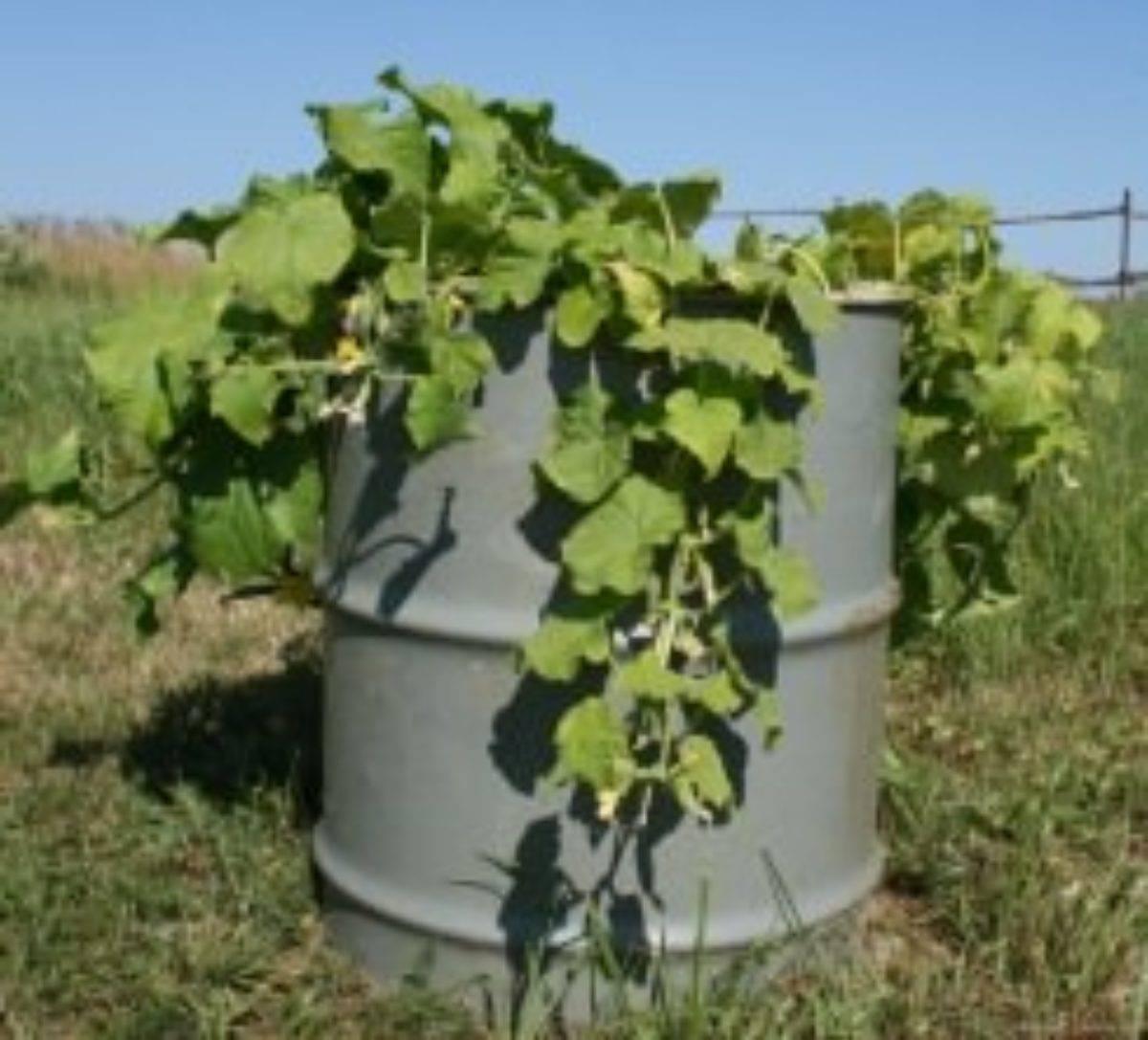 Выращивание огурцов в пластиковых 5 литровых бутылках: посадка и уход + видео