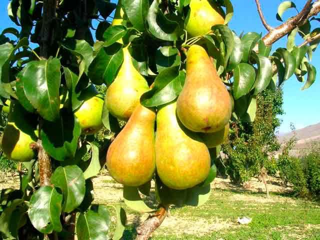 Груша бергамот: отзывы, описание сорта, топ секреты выращивания