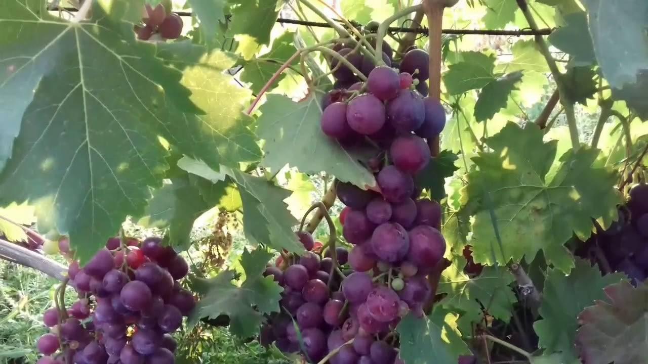 Виноград кардинал: фото и описание сорта, отзывы