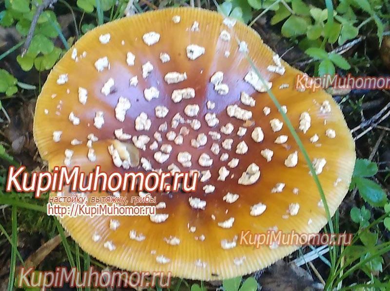 Описание гриба мухомор