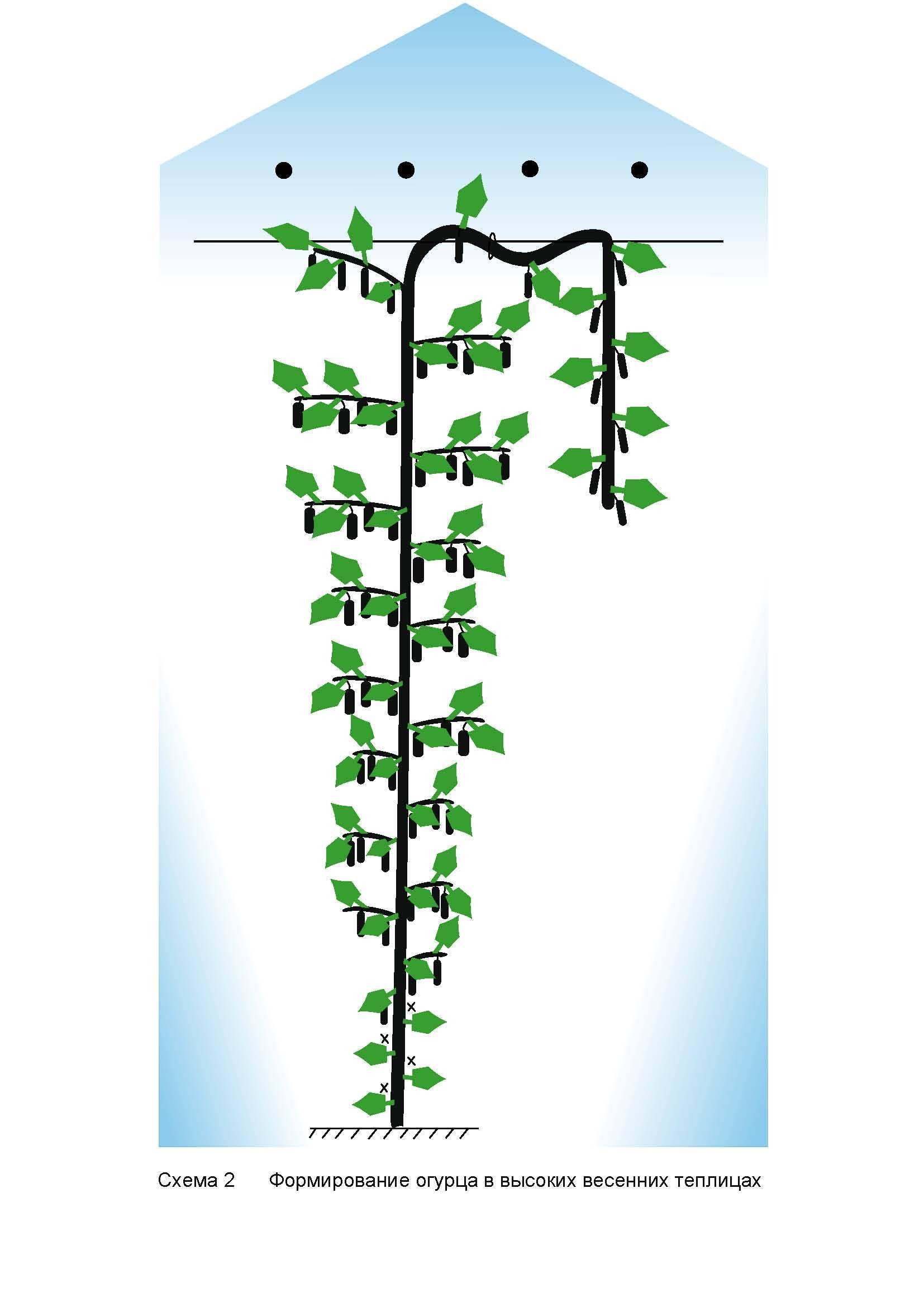 Обрезка огурцов в теплице: схема что был хороший урожай