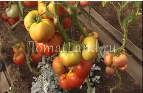 Томат бабушкин секрет – фото, отзывы и особенности выращивания