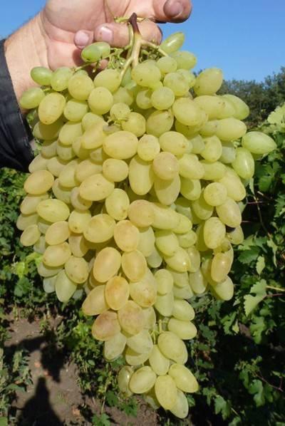 """Сорт винограда """"сверхранний бессемянный"""" - описание, особенности виноградной лозы, характеристики, происхождение, фото selo.guru — интернет портал о сельском хозяйстве"""
