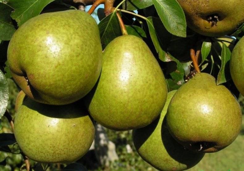 Груша ларинская — сладкий уральский сорт