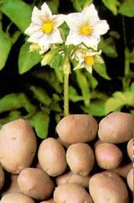 ᐉ фертика картофель-5 - отзывы, описание - roza-zanoza.ru