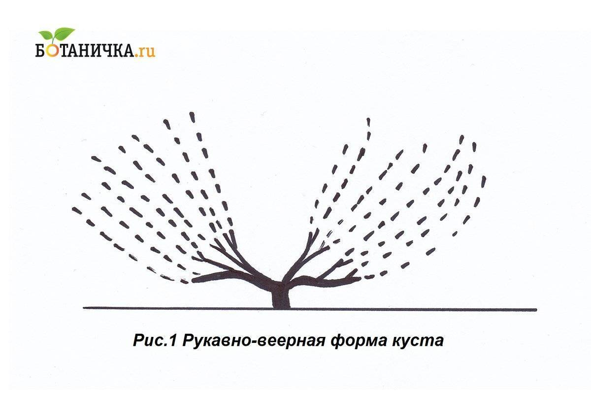 Формирование куста винограда: схемы и формы для начинающих