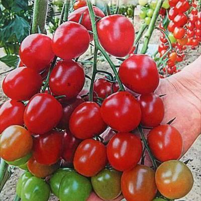 Томат черри вера - описание сорта, фото, отзывы дачников, урожайность, достоинства и недостатки гибрида