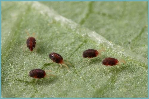 Борьба с паутинным клещом в теплице в огурцах