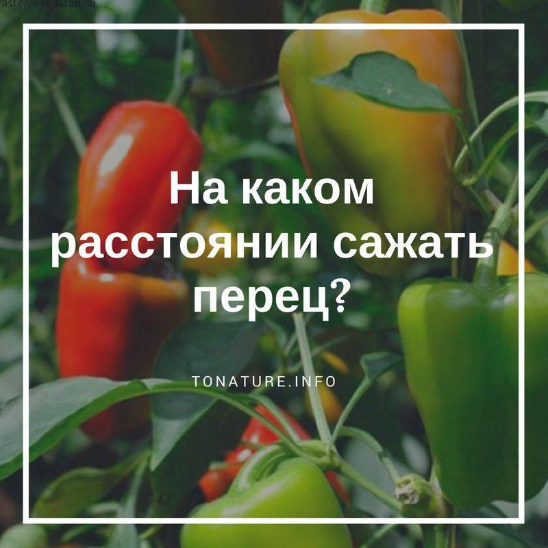 Уход и выращивание перца в теплице: пошаговая инструкция для начинающих огородников