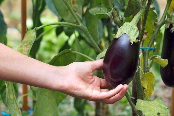 Выращивание рассады баклажанов: что надо знать огороднику