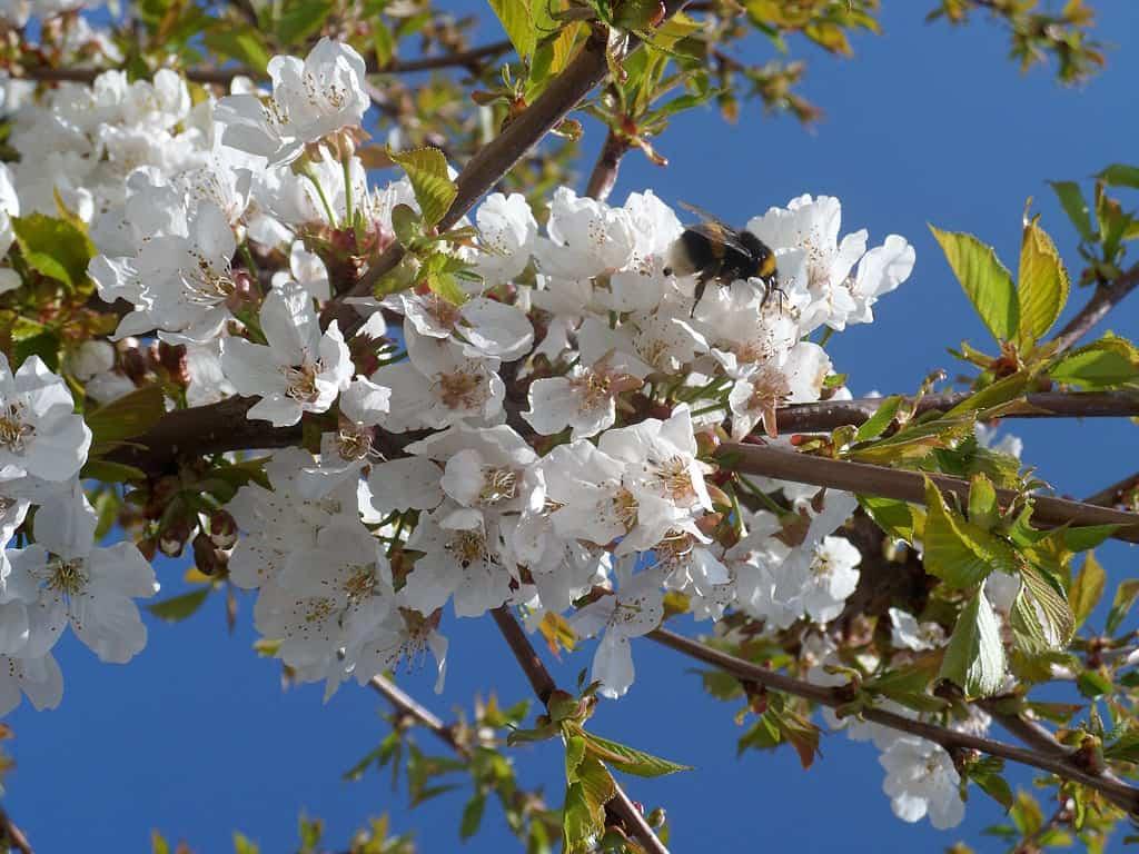 Лучшие сорта черешни для урала и сибири: названия, описание с фото, выращивание и уход