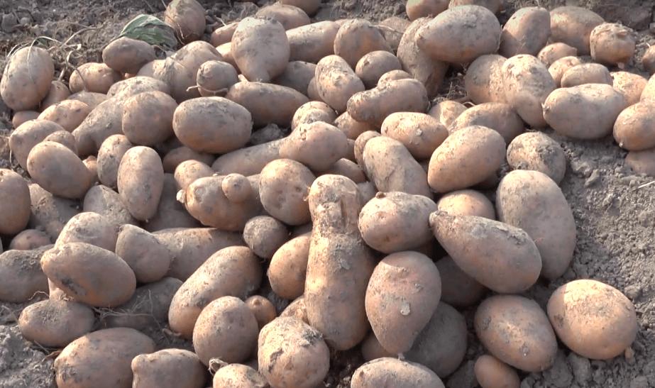 Сорт картошки сынок — как сажать и убирать, сроки созревания